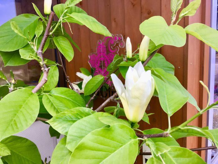 ハナシネマ玄関の木蓮の花