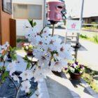 ハナシネマに桜咲く
