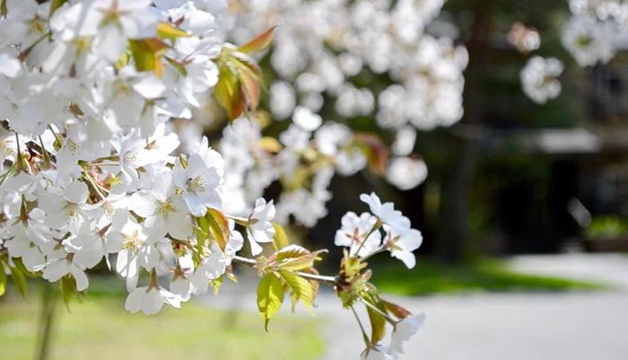 時の宿すみれの入口の桜